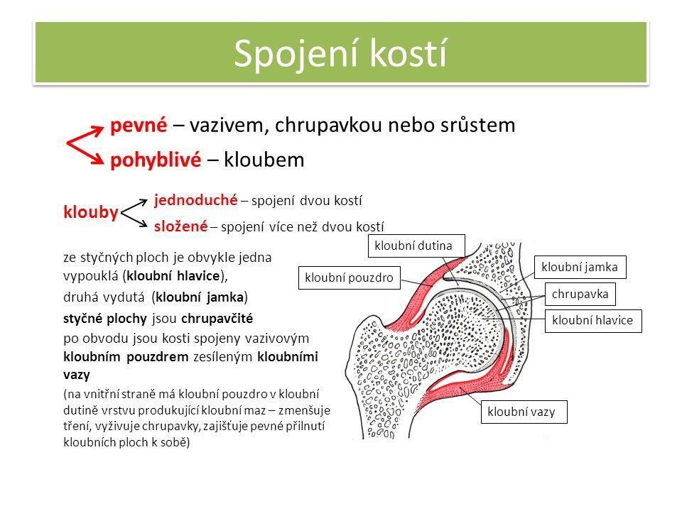 Spojení kostí pevné – vazivem, chrupavkou nebo srůstem pohyblivé – kloubem ze styčných ploch je obvykle jedna vypouklá (kloubní hlavice), druhá vydutá (kloubní jamka) kloubní hlavice kloubní jamka styčné plochy jsou chrupavčité chrupavka po obvodu jsou kosti spojeny vazivovým kloubním pouzdrem zesíleným kloubními vazy kloubní pouzdro (na vnitřní straně má kloubní pouzdro v kloubní dutině vrstvu produkující kloubní maz – zmenšuje tření, vyživuje chrupavky, zajišťuje pevné přilnutí kloubních ploch k sobě) klouby jednoduché – spojení dvou kostí složené – spojení více než dvou kostí kloubní dutina kloubní vazy