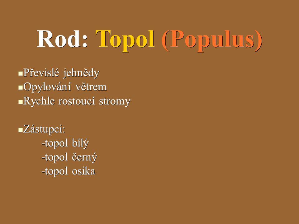 Rod: Topol (Populus) Převislé jehnědy Převislé jehnědy Opylování větrem Opylování větrem Rychle rostoucí stromy Rychle rostoucí stromy Zástupci: Zástupci: -topol bílý -topol bílý -topol černý -topol černý -topol osika -topol osika