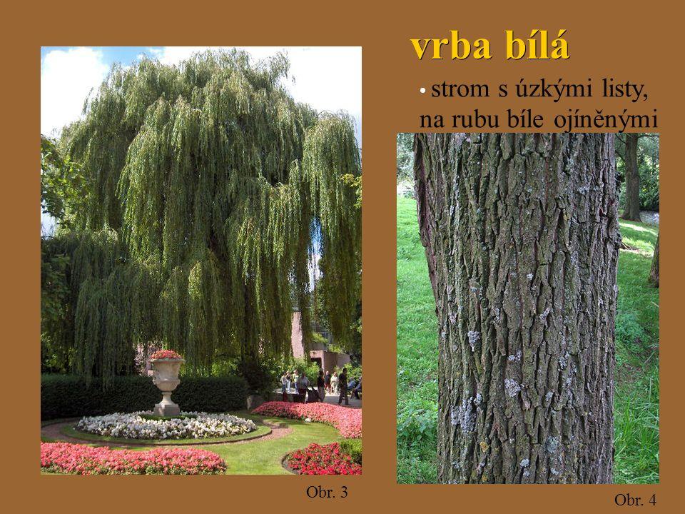 Obr. 3 Obr. 4 vrba bílá vrba bílá strom s úzkými listy, na rubu bíle ojíněnými