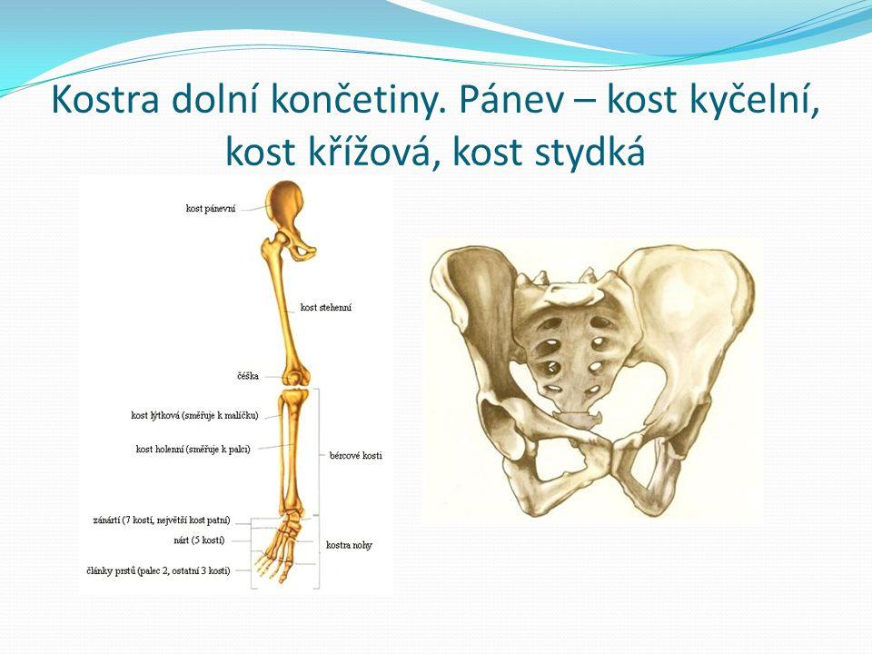 Kostra dolní končetiny. Pánev – kost kyčelní, kost křížová, kost stydká