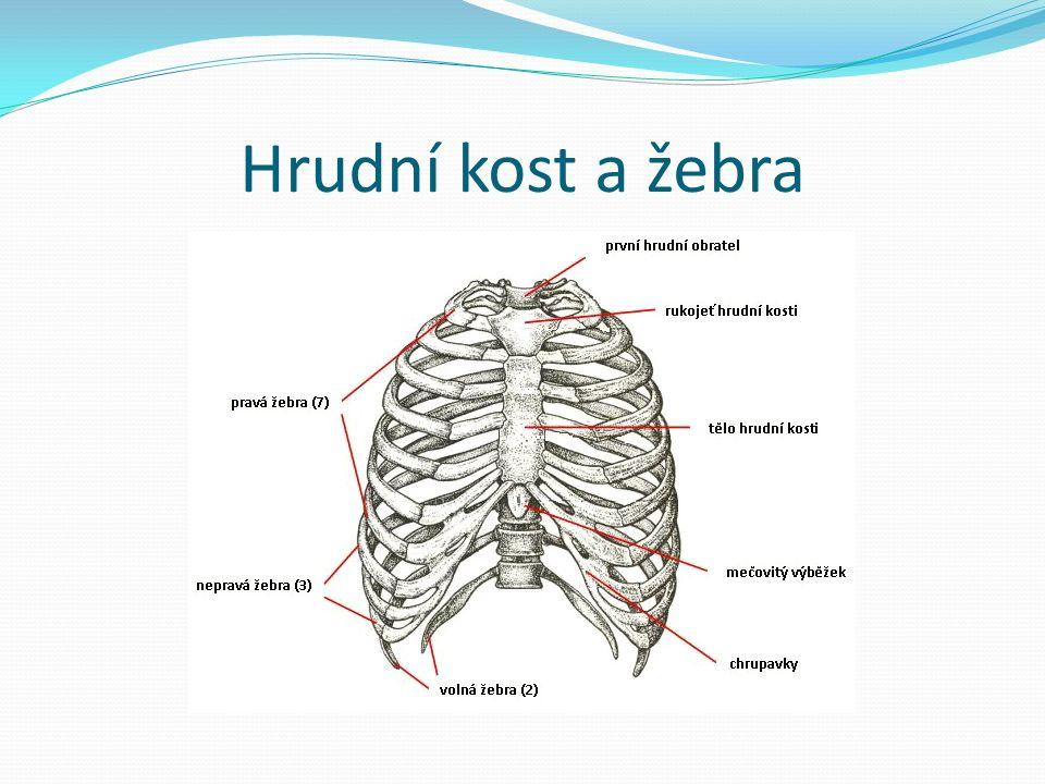 Hrudní kost a žebra