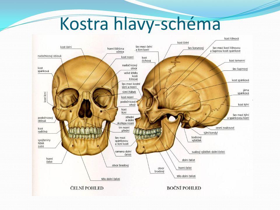 Kostra hlavy-schéma