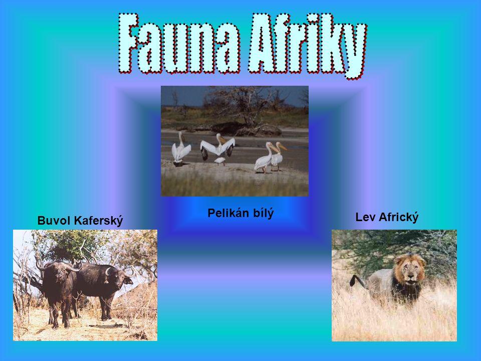 Buvol Kaferský Pelikán bílý Lev Africký