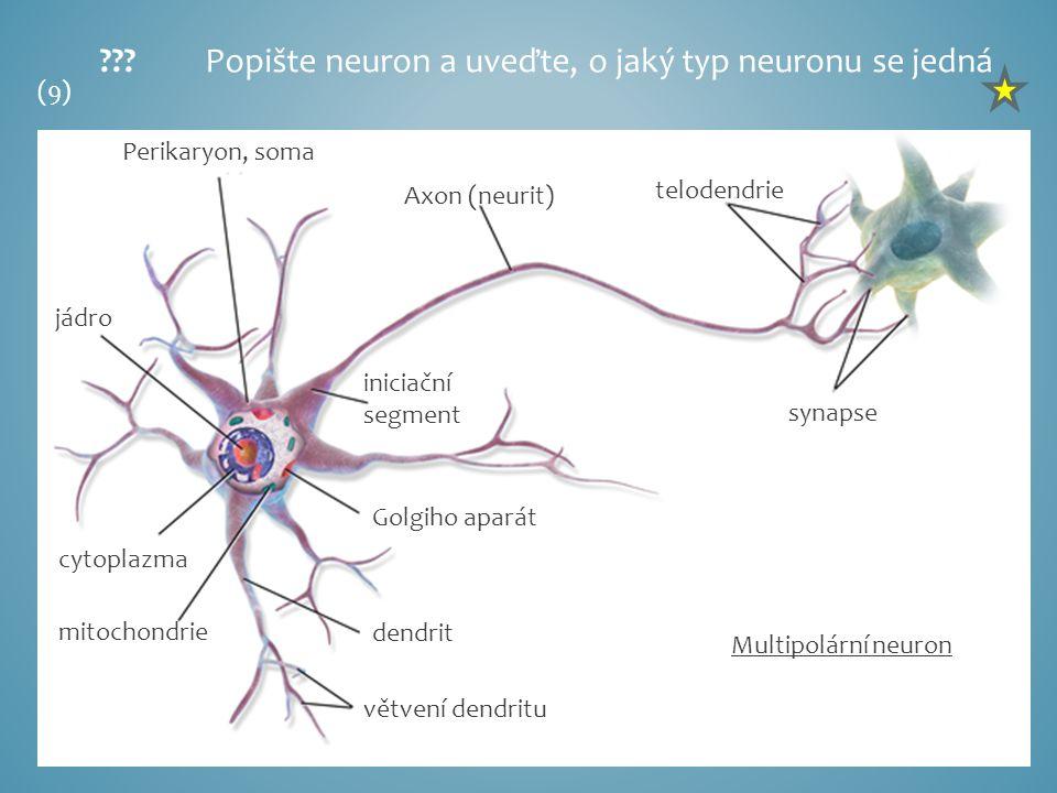 Perikaryon, soma jádro cytoplazma mitochondrie Golgiho aparát dendrit větvení dendritu iniciační segment Axon (neurit) telodendrie synapse Popište neuron a uveďte, o jaký typ neuronu se jedná Multipolární neuron (9)