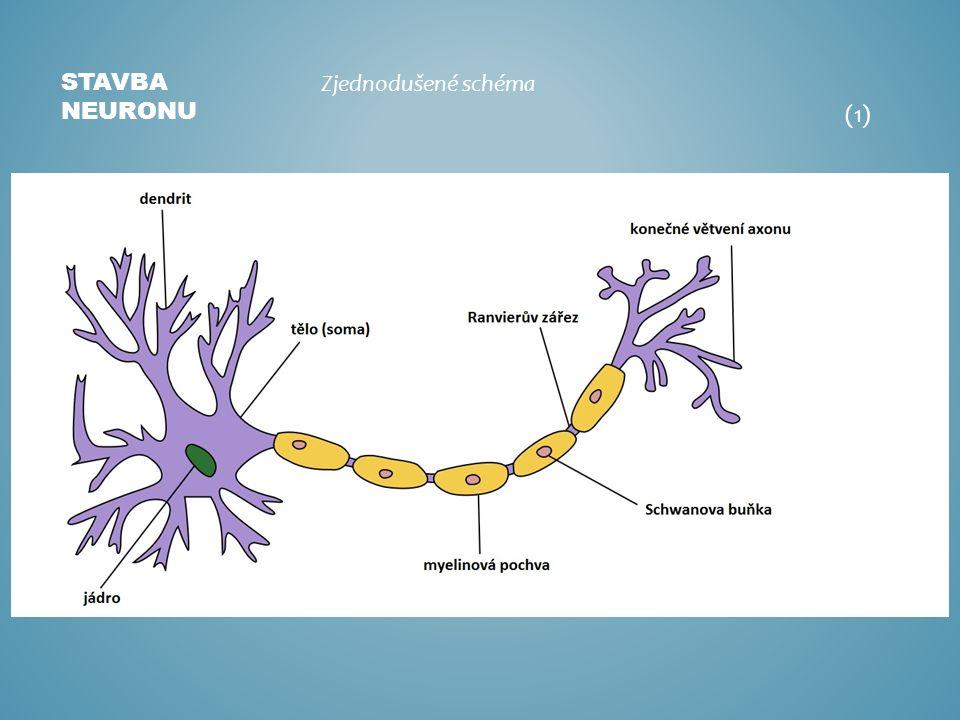 STAVBA NEURONU Zjednodušené schéma (1)