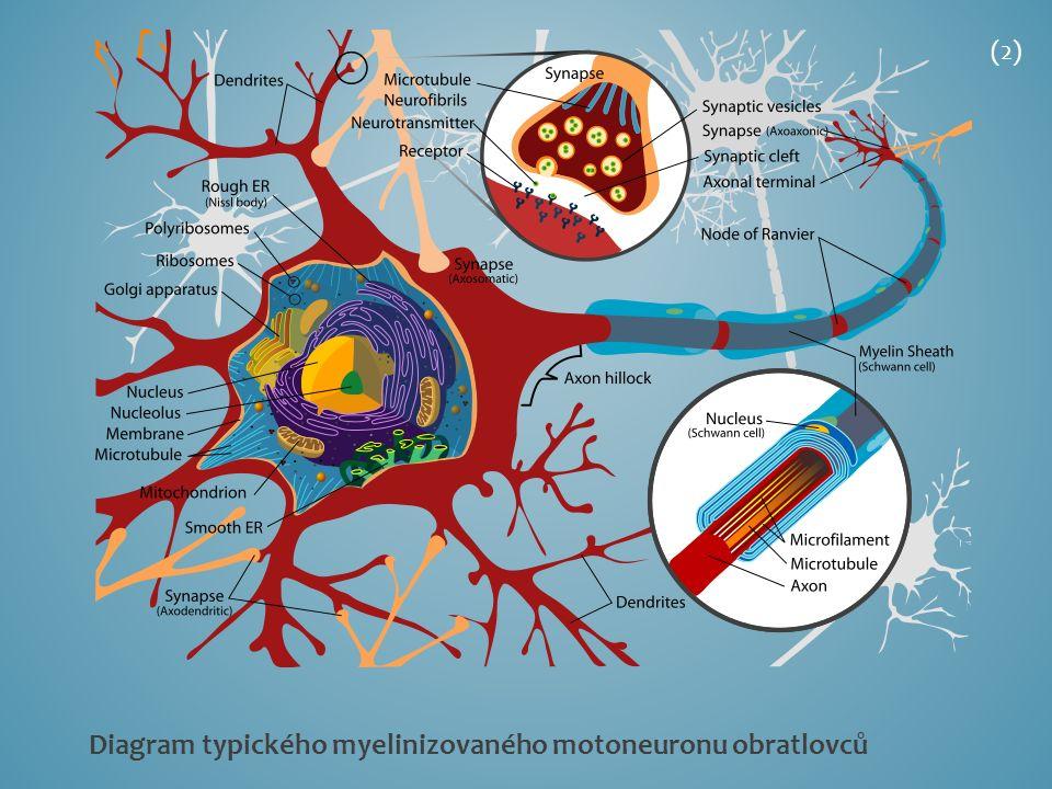 Diagram typického myelinizovaného motoneuronu obratlovců (2)