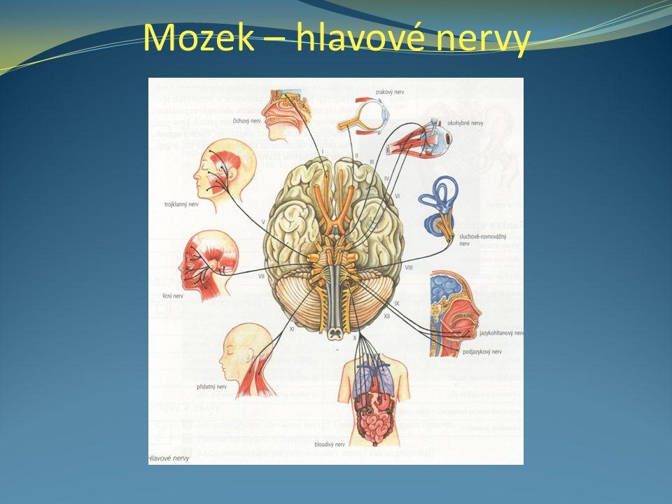 Mozek – hlavové nervy