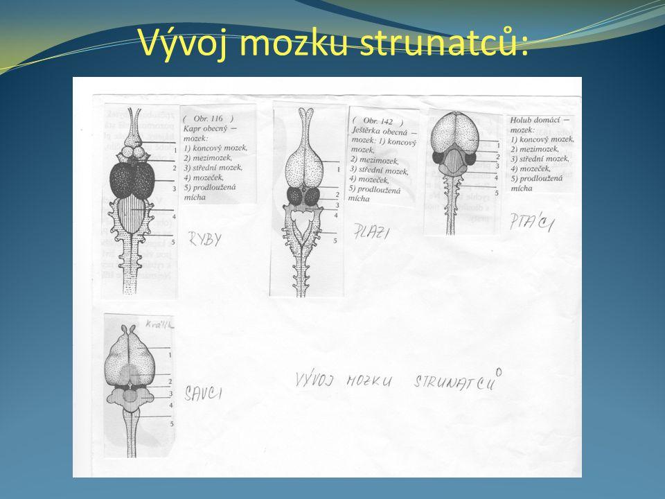 Vývoj mozku strunatců: