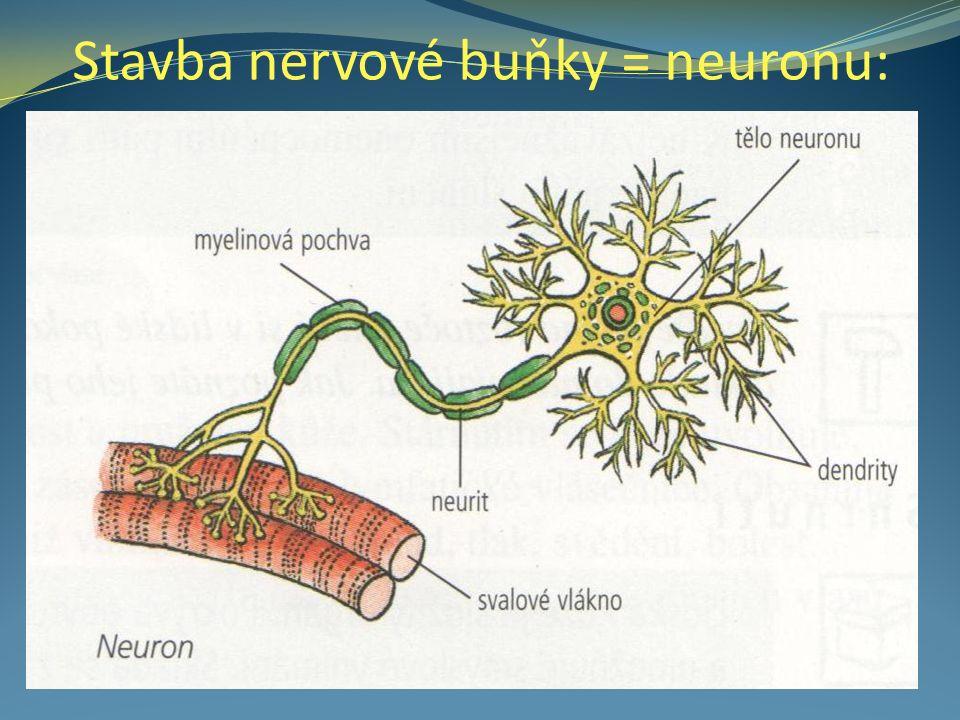 Stavba nervové buňky = neuronu: