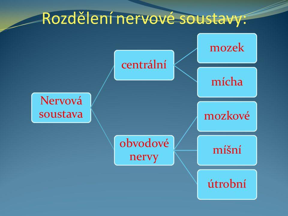 Rozdělení nervové soustavy: Nervová soustava centrálnímozekmícha obvodové nervy mozkovémíšníútrobní