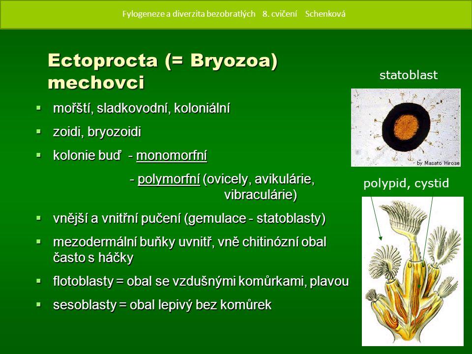Ectoprocta (= Bryozoa) mechovci  mořští, sladkovodní, koloniální  zoidi, bryozoidi  kolonie buď - monomorfní - polymorfní (ovicely, avikulárie, vibraculárie)  vnější a vnitřní pučení (gemulace - statoblasty)  mezodermální buňky uvnitř, vně chitinózní obal často s háčky  flotoblasty = obal se vzdušnými komůrkami, plavou  sesoblasty = obal lepivý bez komůrek polypid, cystid Fylogenze a diverzita bezobratlých 8.