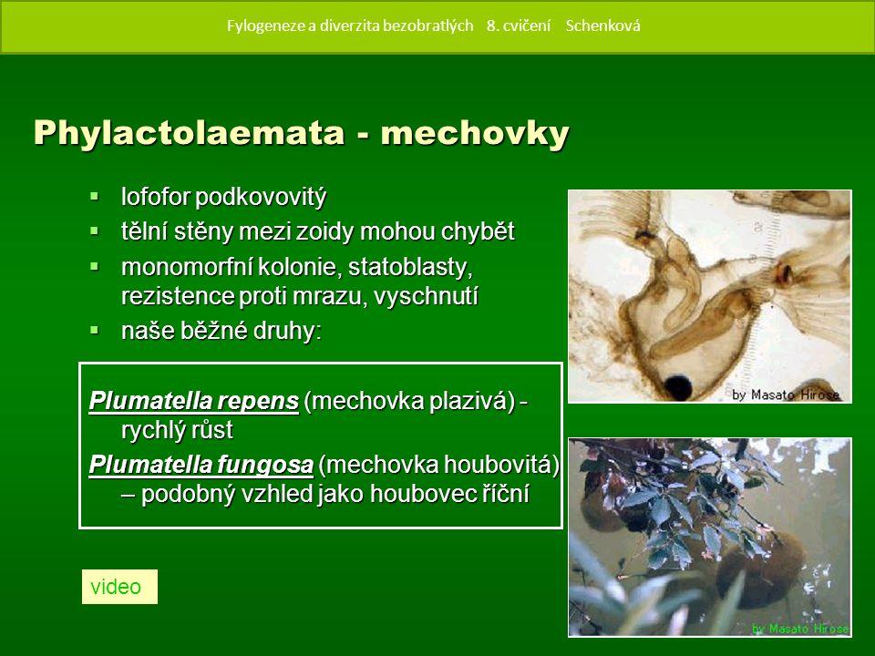 Phylactolaemata - mechovky  lofofor podkovovitý  tělní stěny mezi zoidy mohou chybět  monomorfní kolonie, statoblasty, rezistence proti mrazu, vyschnutí  naše běžné druhy: Plumatella repens (mechovka plazivá) - rychlý růst Plumatella fungosa (mechovka houbovitá) – podobný vzhled jako houbovec říční video Fylogenze a diverzita bezobratlých 8.