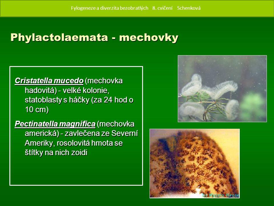 Phylactolaemata - mechovky Cristatella mucedo (mechovka hadovitá) - velké kolonie, statoblasty s háčky (za 24 hod o 10 cm) Pectinatella magnifica (mechovka americká) - zavlečena ze Severní Ameriky, rosolovitá hmota se štítky na nich zoidi Fylogenze a diverzita bezobratlých 8.