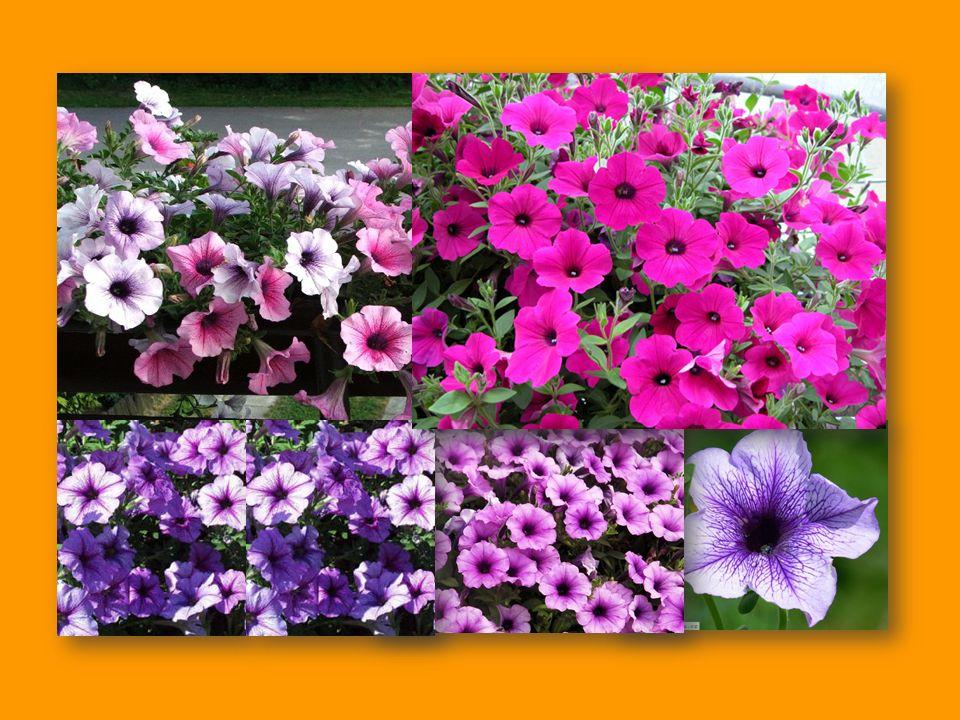 dobře se vyjímá v květinovém truhlíku na balkóně, ale také v květináči na terase dobře se vyjímá v květinovém truhlíku na balkóně, ale také v květináči na terase lze ji pěstovat jako balkónovou a kbelíkovou rostlinu lze ji pěstovat jako balkónovou a kbelíkovou rostlinu potřebuje umístění na slunném a vzdušném stanovišti potřebuje umístění na slunném a vzdušném stanovišti bohatě kvete také u okna nebo ve skleníku bohatě kvete také u okna nebo ve skleníku