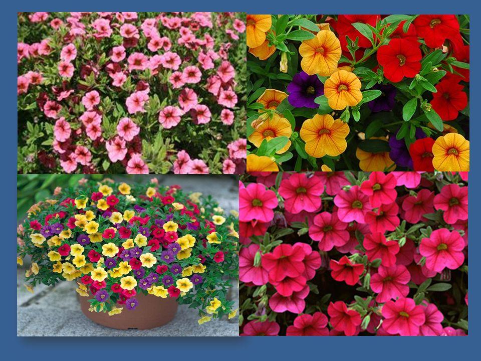 begonií je celá řada - hlíznaté vhodné k pěstování v truhlíku, velkokvěté, drobnokvěté, převislé, ozdobné listem begonií je celá řada - hlíznaté vhodné k pěstování v truhlíku, velkokvěté, drobnokvěté, převislé, ozdobné listem květy mohou být jednoduché nebo plnokvěté, v mnoha barevných odstínech květy mohou být jednoduché nebo plnokvěté, v mnoha barevných odstínech hlíznaté převislé begónie lze pěstovat za oknem nebo na balkóně v truhlíku hlíznaté převislé begónie lze pěstovat za oknem nebo na balkóně v truhlíku nemá ráda přímé sluneční paprsky, proto ji vyhovuje východní nebo severní orientace nemá ráda přímé sluneční paprsky, proto ji vyhovuje východní nebo severní orientace stanoviště by mělo být chráněno před větrem a přívalovým deštěm stanoviště by mělo být chráněno před větrem a přívalovým deštěm