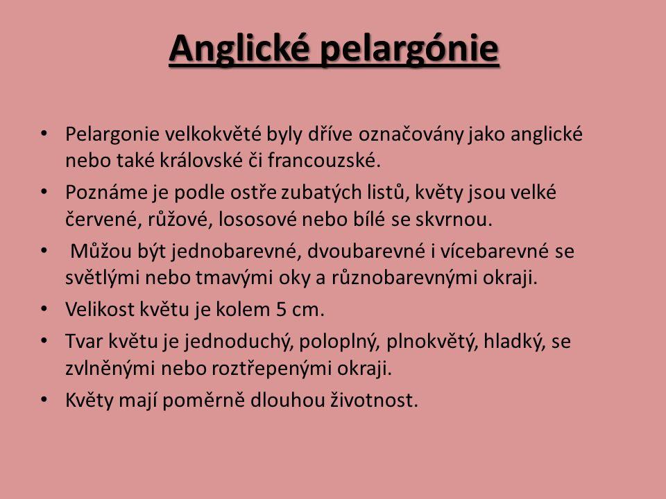 Anglické pelargónie Pelargonie velkokvěté byly dříve označovány jako anglické nebo také královské či francouzské. Poznáme je podle ostře zubatých list
