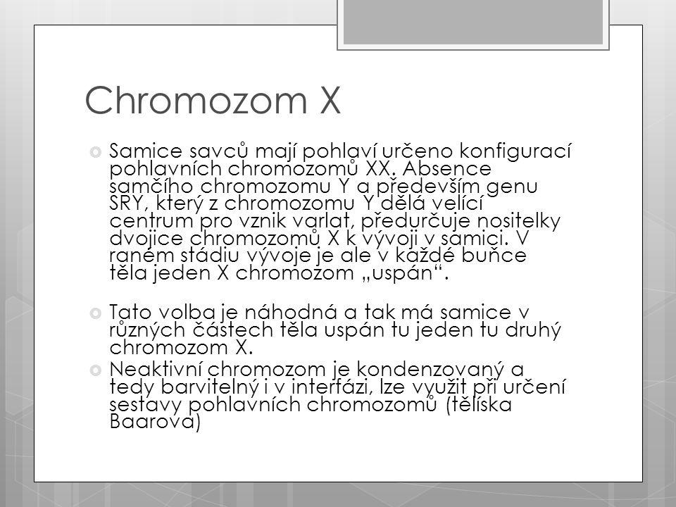 Chromozom X  Samice savců mají pohlaví určeno konfigurací pohlavních chromozomů XX.