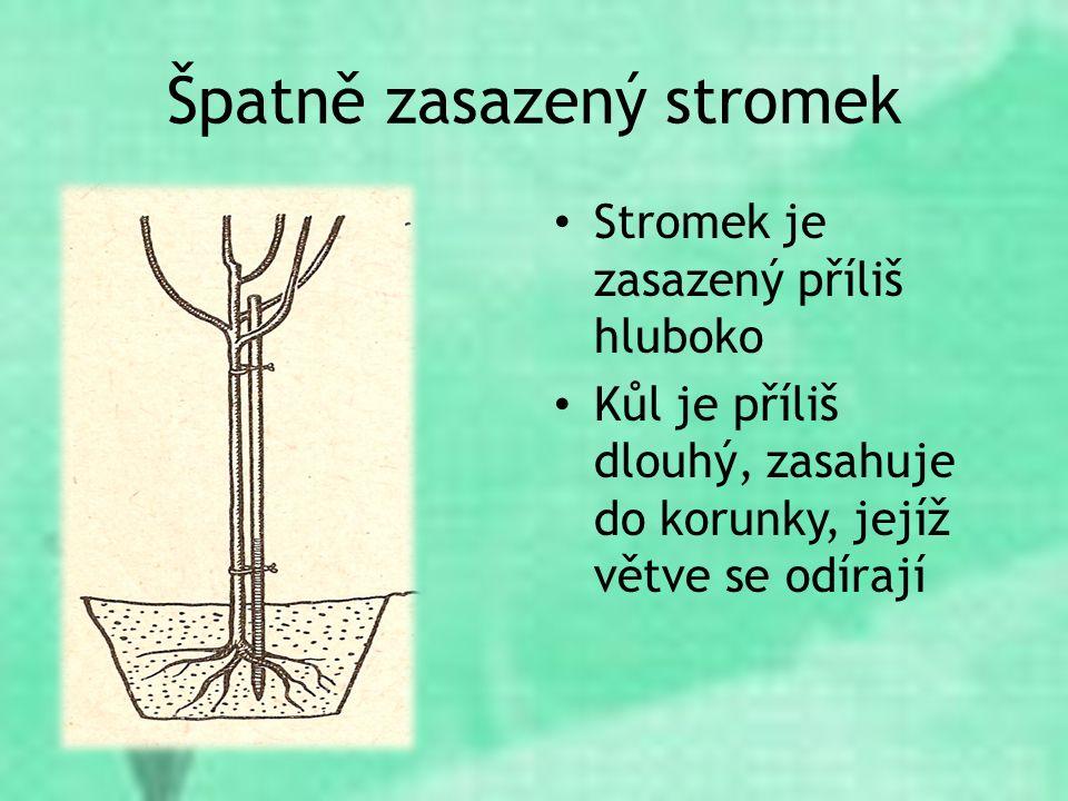 Špatně zasazený stromek Stromek je zasazený příliš hluboko Kůl je příliš dlouhý, zasahuje do korunky, jejíž větve se odírají