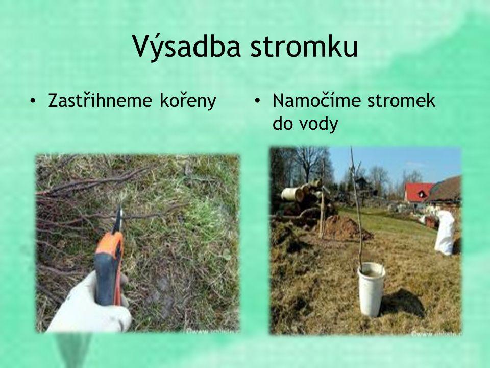 Výsadba stromku Zastřihneme kořeny Namočíme stromek do vody