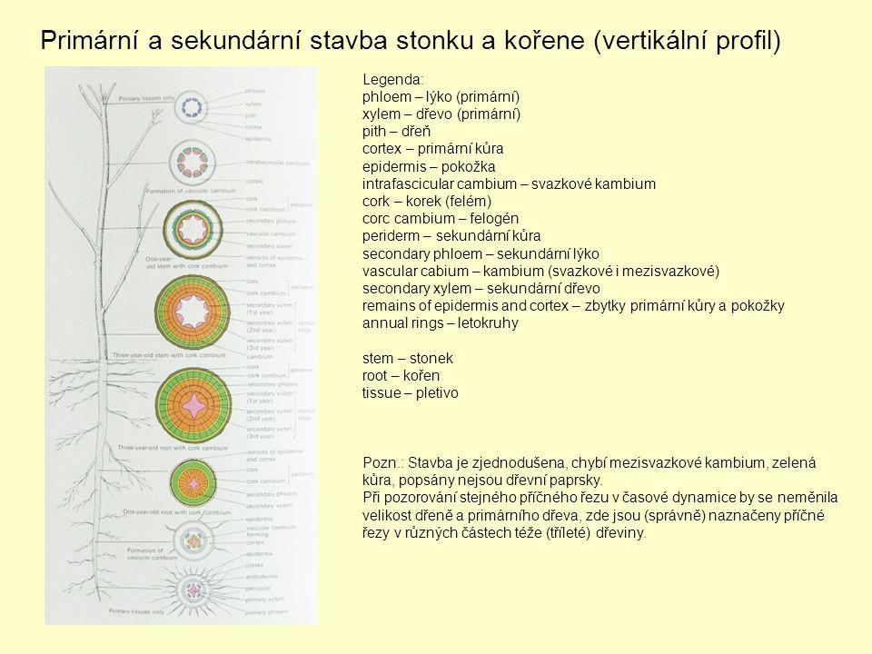 Primární a sekundární stavba stonku a kořene (vertikální profil) Legenda: phloem – lýko (primární) xylem – dřevo (primární) pith – dřeň cortex – primární kůra epidermis – pokožka intrafascicular cambium – svazkové kambium cork – korek (felém) corc cambium – felogén periderm – sekundární kůra secondary phloem – sekundární lýko vascular cabium – kambium (svazkové i mezisvazkové) secondary xylem – sekundární dřevo remains of epidermis and cortex – zbytky primární kůry a pokožky annual rings – letokruhy stem – stonek root – kořen tissue – pletivo Pozn.: Stavba je zjednodušena, chybí mezisvazkové kambium, zelená kůra, popsány nejsou dřevní paprsky.