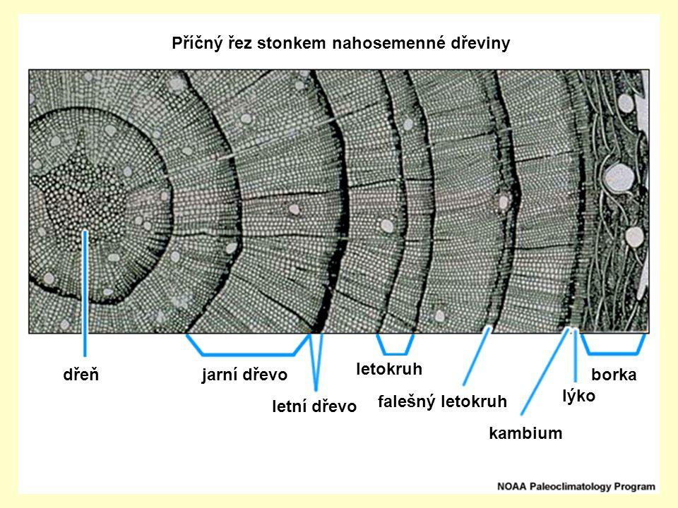 dřeňjarní dřevo letní dřevo letokruh falešný letokruh borka lýko kambium Příčný řez stonkem nahosemenné dřeviny