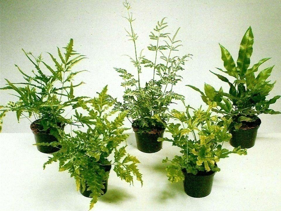 PTERIS cretica křídelnice - terestrické kapradiny vysoké 30 cm - trsy dlouze čárkovitých listů, zelené i pestrolisté (mnoho odrůd) - pěstování i množení snadnější než u Nephrolepis - pěstujeme jako hrnkové i k řezu - v zimě zelenolisté pod 10°C, (i 3°C) pestrolisté do 15°C - polostinná místa, zelenolisté i stinná - množíme výtrusy - vysoká vzdušná vlhkost nebo dělením trsů.