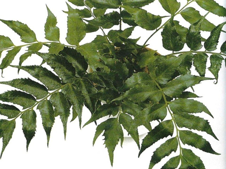 RUMOHRA adiantiformis rumora - statná a odolná, až 1 m vysoká kapradina z Austrálie - trsy listů s několikanásobně dělenými úkrojky s dlouhými řapíky - v mládí světlezelené, vyzrálé tmavě až hnědozelené - chladnomilná, snáší i teploty pod 0°C - významná především pro řez listů; dlouho vydrží - množení výtrusy, výběžky, částmi oddenku, dělením i meristémy.