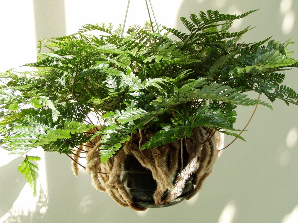- malá epifytická kapradina z Austrálie s jemně zpeřenými listy DAVALLIA - velmi dekorativní - světlá až polostinná místa bez přímého slunce - v létě 20°C, v zimě 10°C - co nejvyšší vzdušná vlhkost - oddenek nepřekrývat zeminou, substrát vzdušný jako pro orchideje zaječí tlapka - množení dělením oddenků nebo jejich řízky