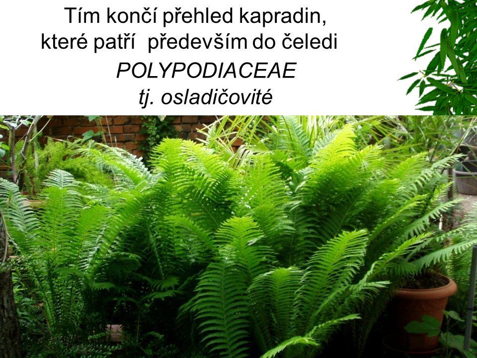Dalším velmi impozantním, nádherným, ale také velmi drahým druhem je stromové kapradiny pro velké interiéry nebo zimní zahrady - stromová kapradina Dicksonia antarctica