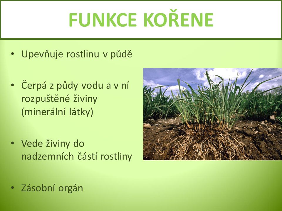 FUNKCE KOŘENE Upevňuje rostlinu v půdě Čerpá z půdy vodu a v ní rozpuštěné živiny (minerální látky) Vede živiny do nadzemních částí rostliny Zásobní o