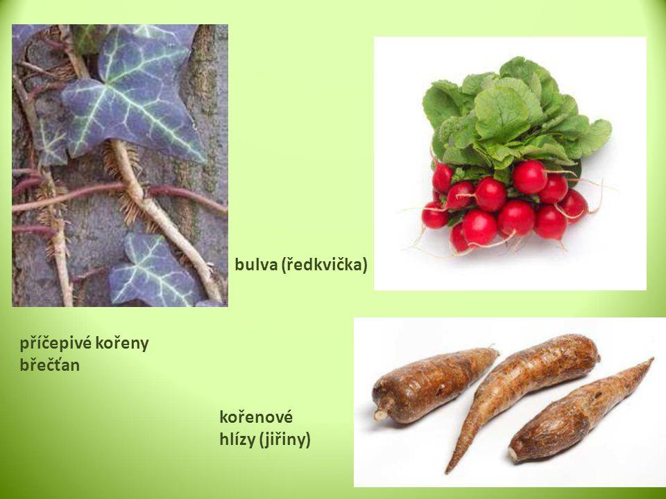 příčepivé kořeny břečťan bulva (ředkvička) kořenové hlízy (jiřiny)