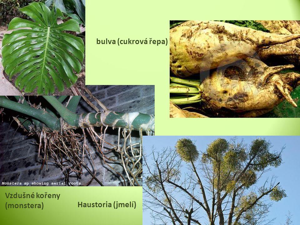 Na povrchu kořenová pokožka (Rhizodermis) Kořenové vlásky – k čerpání živin rozpuštěných ve vodě Primární kůra Střední válec s vodivými pletivy Dřeň Samotný konec kořene je chráněn kořenovou čepičkou STAVBA KOŘENE