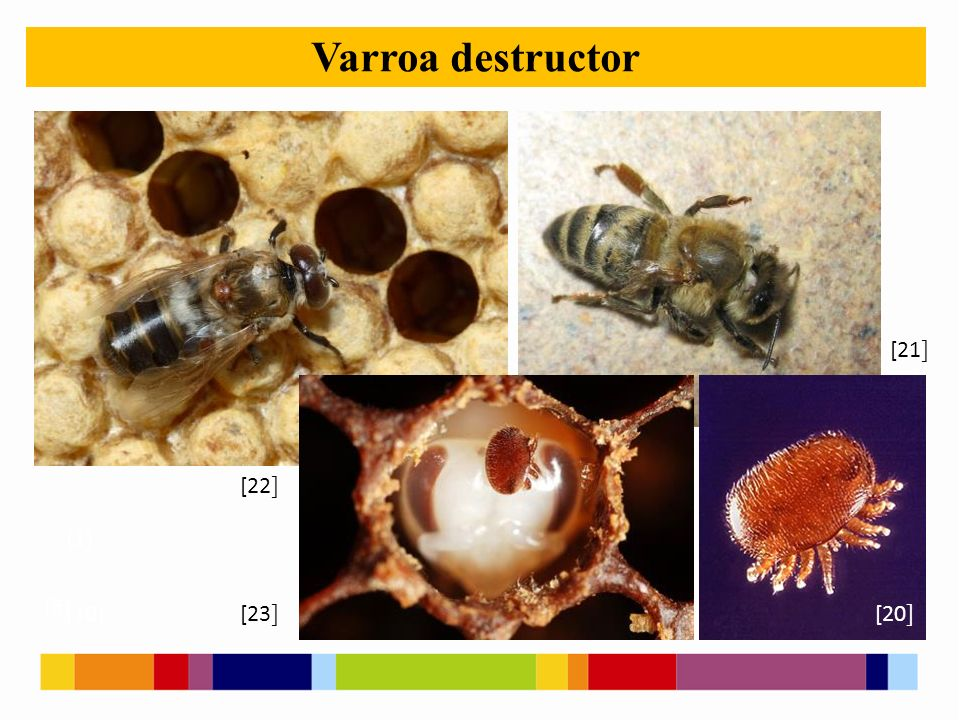 [1 ] [2 ] [5 ] [10 ] Varroa destructor [21 ] [20 ] [22 ] [23 ]