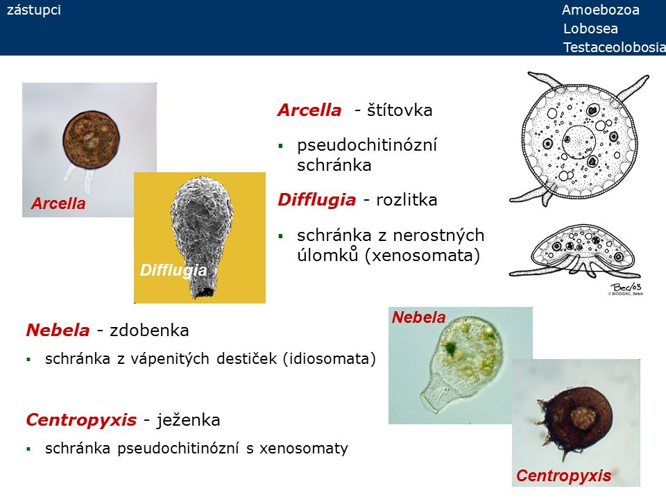 zástupci Amoebozoa Lobosea Testaceolobosia Nebela - zdobenka  schránka z vápenitých destiček (idiosomata) Centropyxis - ježenka  schránka pseudochitinózní s xenosomaty Arcella Difflugia Nebela Centropyxis Arcella - štítovka  pseudochitinózní schránka Difflugia - rozlitka  schránka z nerostných úlomků (xenosomata)
