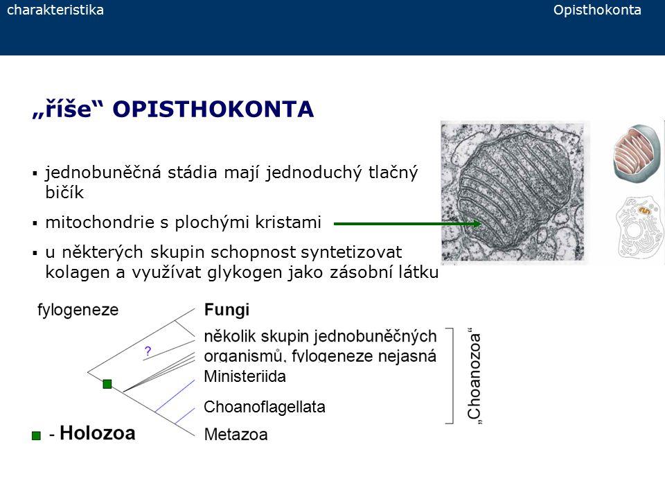 """charakteristika Opisthokonta """"říše"""" OPISTHOKONTA  jednobuněčná stádia mají jednoduchý tlačný bičík  mitochondrie s plochými kristami  u některých s"""