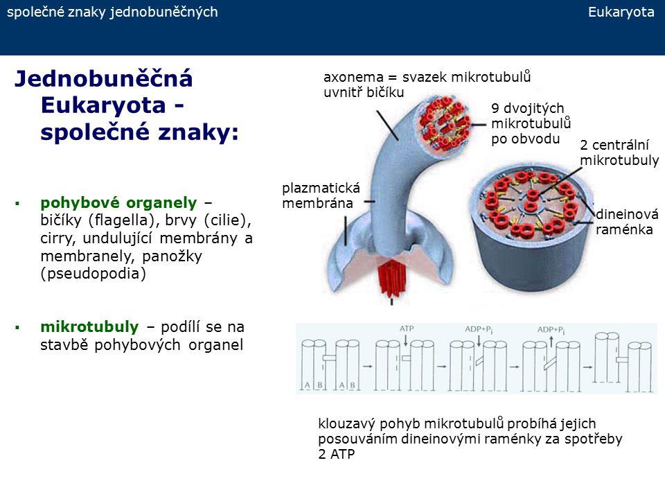 společné znaky jednobuněčných Eukaryota Jednobuněčná Eukaryota - společné znaky:  pohybové organely – panožky pseudopodie typy pseudopodií: lobopodie – laločnaté panožky filopodie – nitkovité panožky retikulopodie – podobné jako filopodie, ale s anastomozami (příčnými spojkami) axopodie – mikrotubuly silně vyztužené s lepivou rheoplazmou na povrchu typy panožek: lobopodie axopodie filopodie retikulopodie