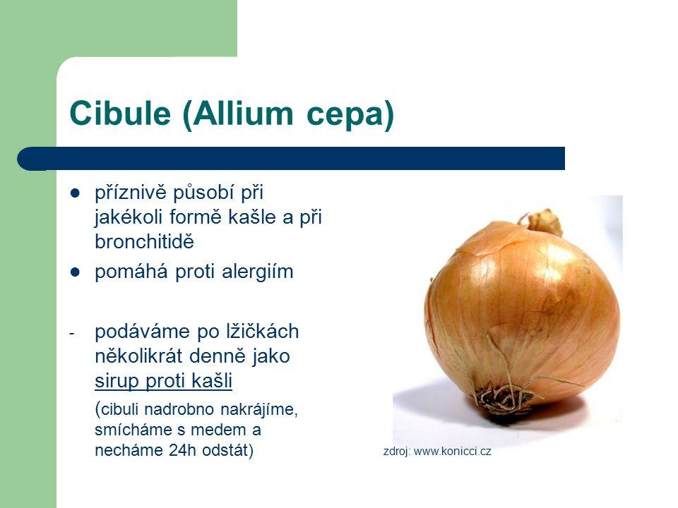 Cibule (Allium cepa) příznivě působí při jakékoli formě kašle a při bronchitidě pomáhá proti alergiím - podáváme po lžičkách několikrát denně jako sirup proti kašli ( cibuli nadrobno nakrájíme, smícháme s medem a necháme 24h odstát) zdroj: www.konicci.cz
