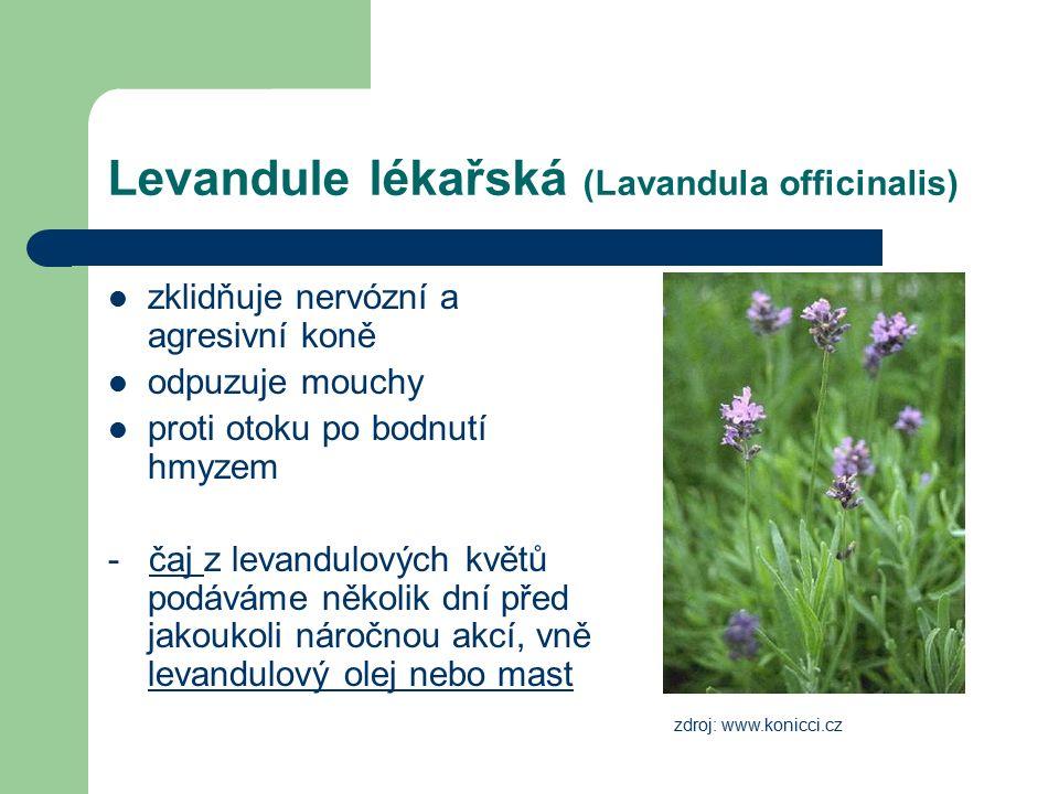 Levandule lékařská (Lavandula officinalis) zklidňuje nervózní a agresivní koně odpuzuje mouchy proti otoku po bodnutí hmyzem - čaj z levandulových kvě