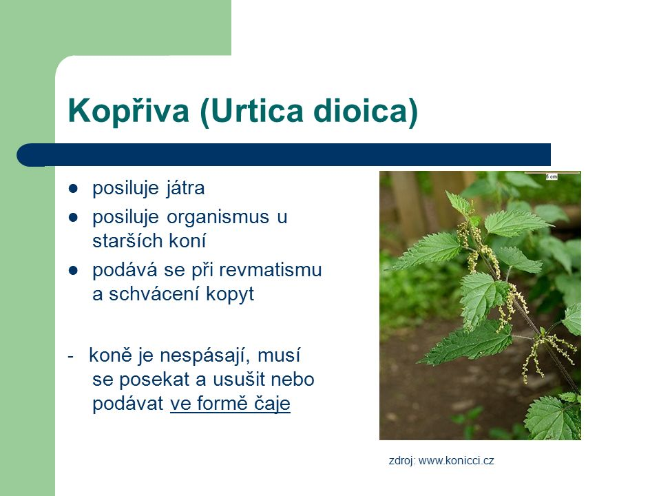 Kopřiva (Urtica dioica) posiluje játra posiluje organismus u starších koní podává se při revmatismu a schvácení kopyt - koně je nespásají, musí se pos