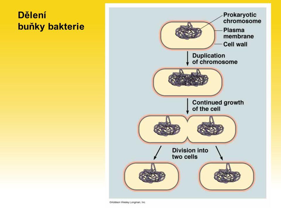 Dělení buňky bakterie