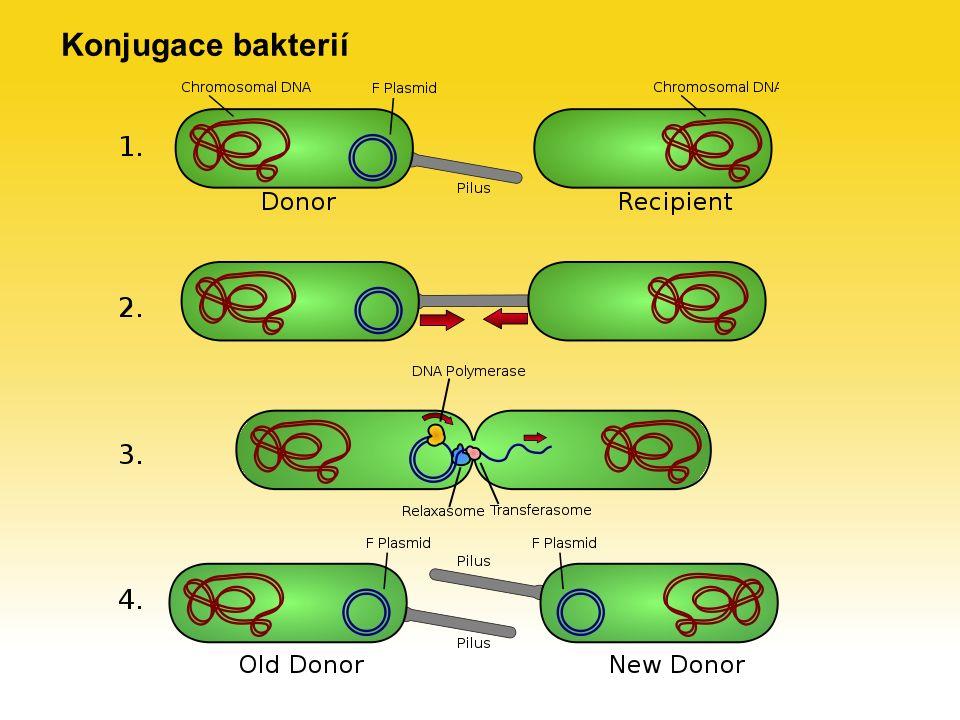 Konjugace bakterií