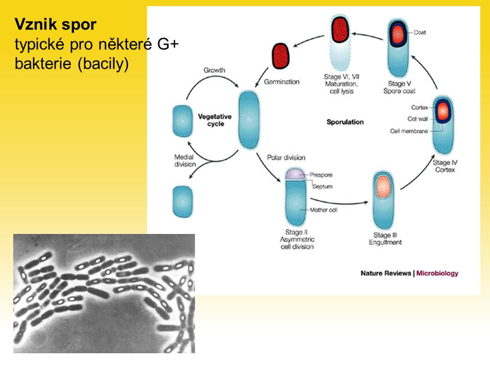 Vznik spor typické pro některé G+ bakterie (bacily)