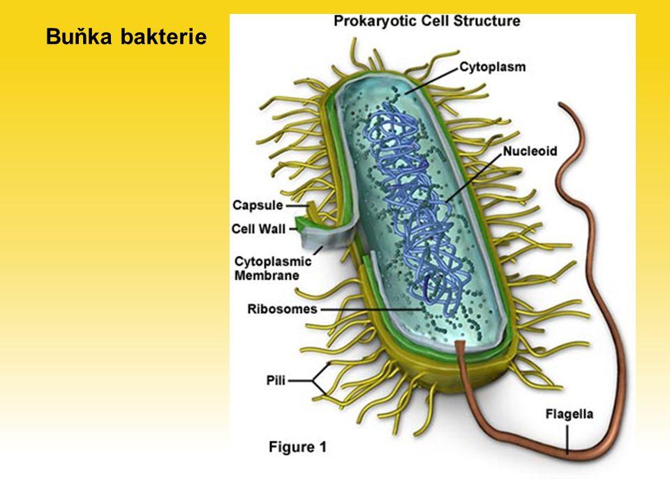 Sporulace a dormance adaptace bakterií k nepříznivým podmínkám (málo živin, vyschnutí, nízká nebo vysoká teplota) Sporulace – tvorba spor typické pro G+ tyčinky – bacily část buněk v populace hyne a rozkládá se, zbylé buňky se přeměňují na spory a využívají látky z uhynulých buněk spory mají nižší obsah vody, silnější buněčnou stěnu, nízký metabolismus, vysokou odolnost Dormance klidové stadium bakterie vyvolané nepříznivými podmínkami menší velikost, silnější buněčná stěna, vyšší odolnost, zpomalený metabolismus G– i G+ bakterie