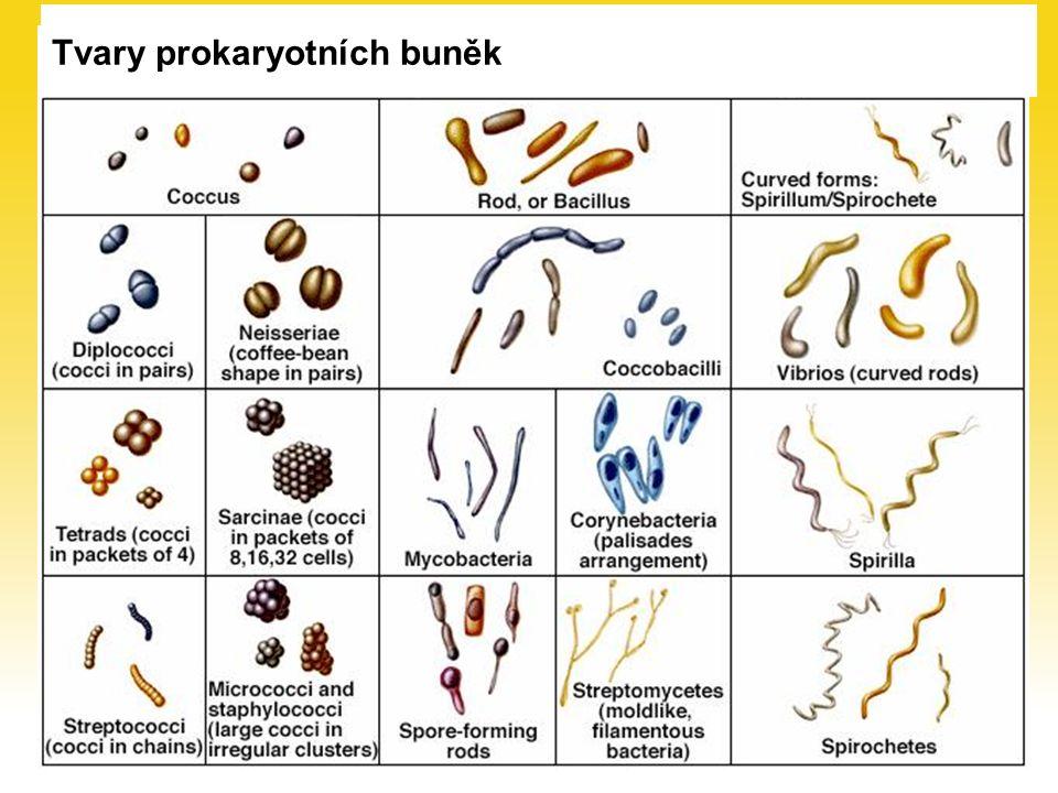 Buněčná stěna bakterie Grampozitivní (G+) Gramnegativní (G – )