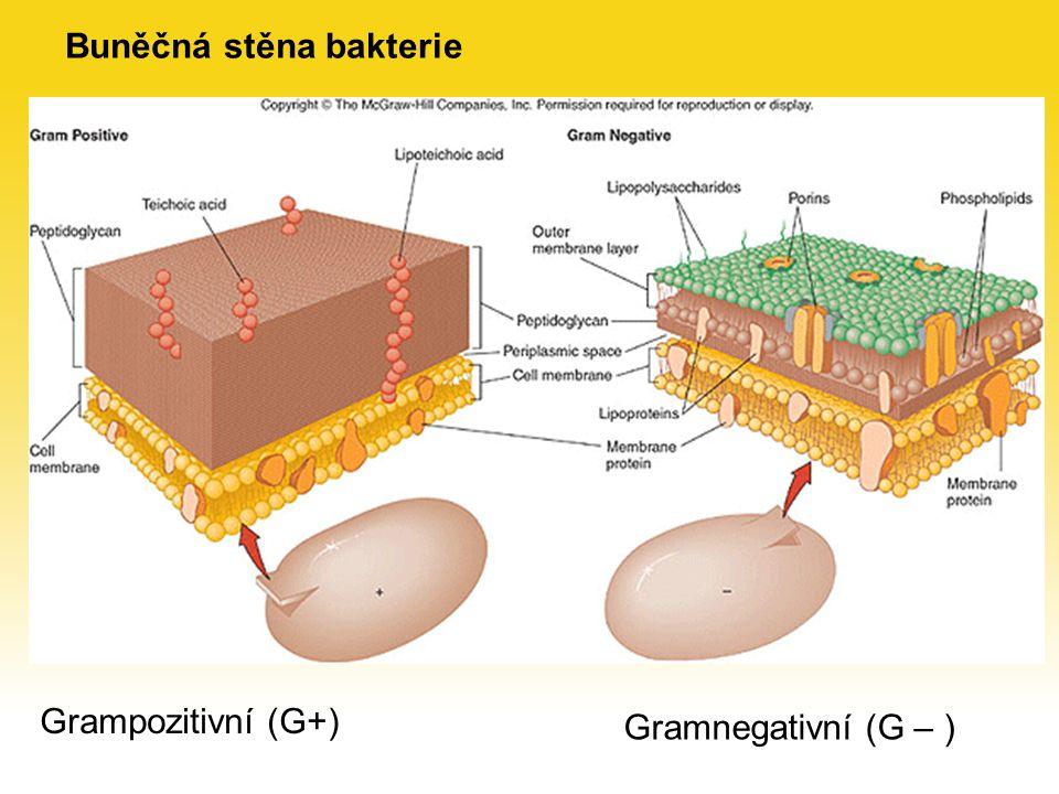 Ukotvení bičíku bakterie v plazmatické membráně
