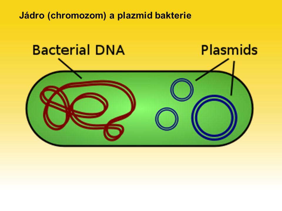Jádro (chromozom) a plazmid bakterie