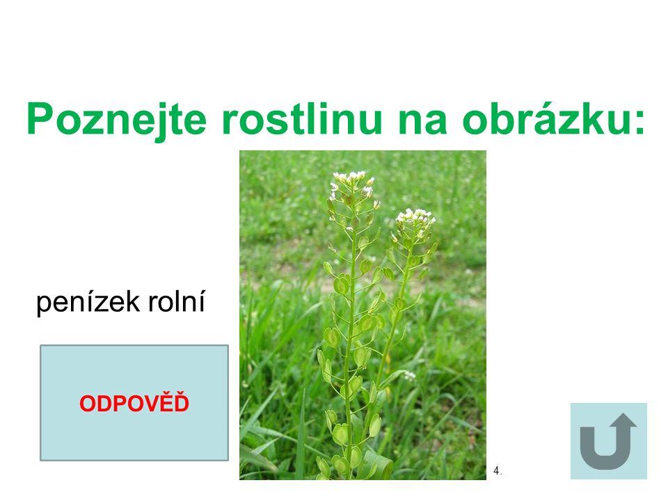 Poznejte rostlinu na obrázku: Poznejte rostlinu na obrázku: blatouch bahenní 3.