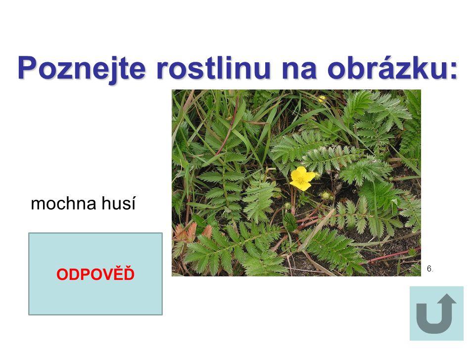 Poznejte rostlinu na obrázku: Poznejte rostlinu na obrázku: šalvěj luční 5.