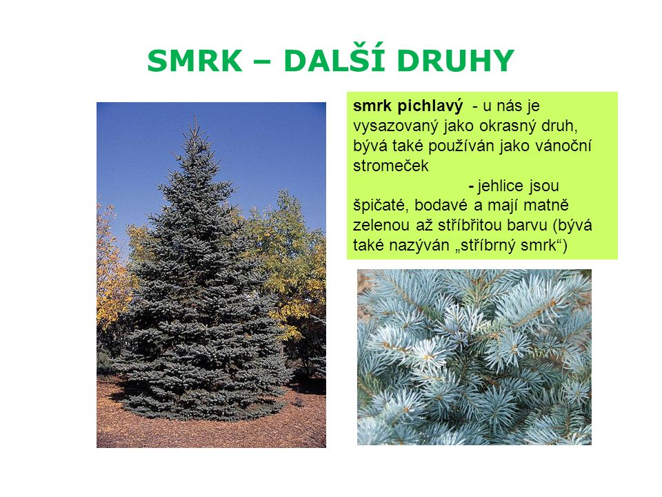 SMRK – DALŠÍ DRUHY smrk pichlavý - u nás je vysazovaný jako okrasný druh, bývá také používán jako vánoční stromeček - jehlice jsou špičaté, bodavé a m