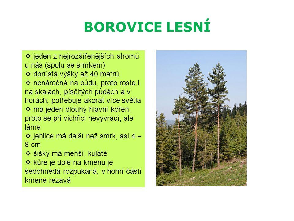 BOROVICE LESNÍ  jeden z nejrozšířenějších stromů u nás (spolu se smrkem)  dorůstá výšky až 40 metrů  nenáročná na půdu, proto roste i na skalách, p